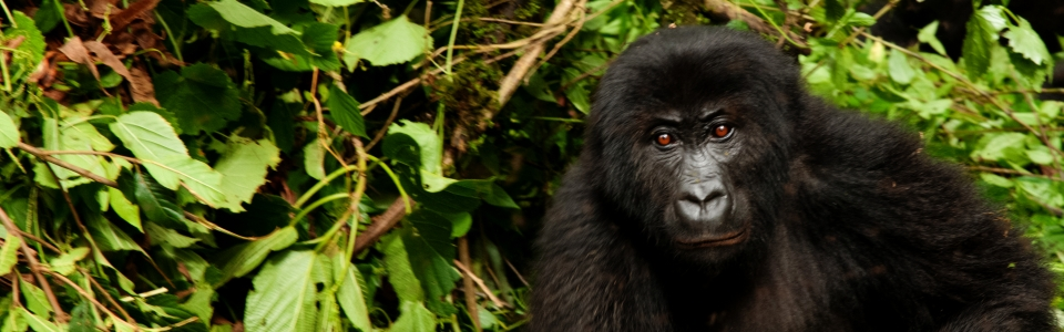 gorila_header